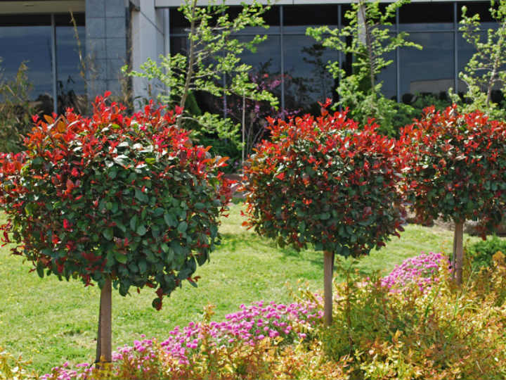 lilly-pilly-syzygium-australe-big-red