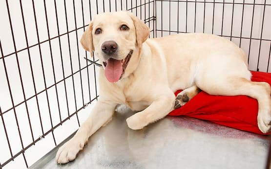 dog inside playpen laying ona red bed