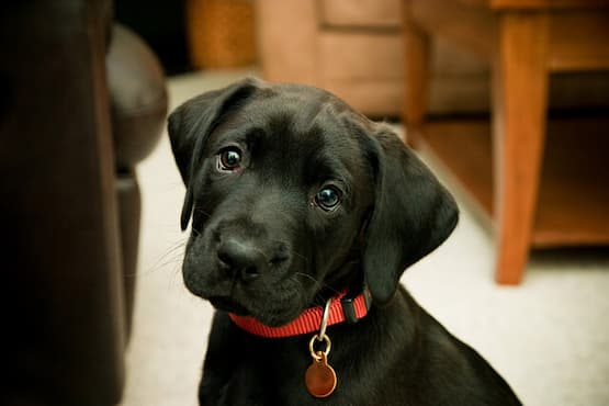 puppy with red collar with id tag
